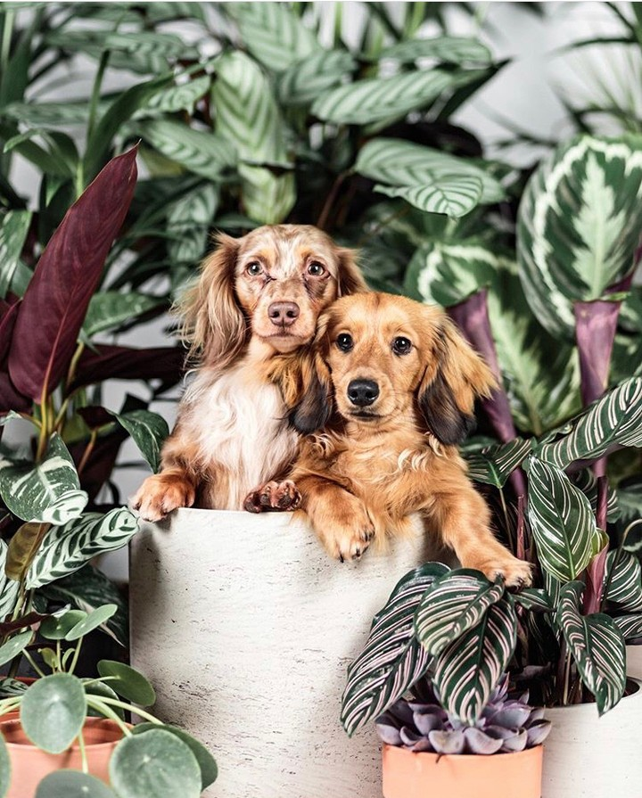##TheSill: Protectors of the plants doing what they do best  Photo of @buddythedappleddachs...   #NYC     .