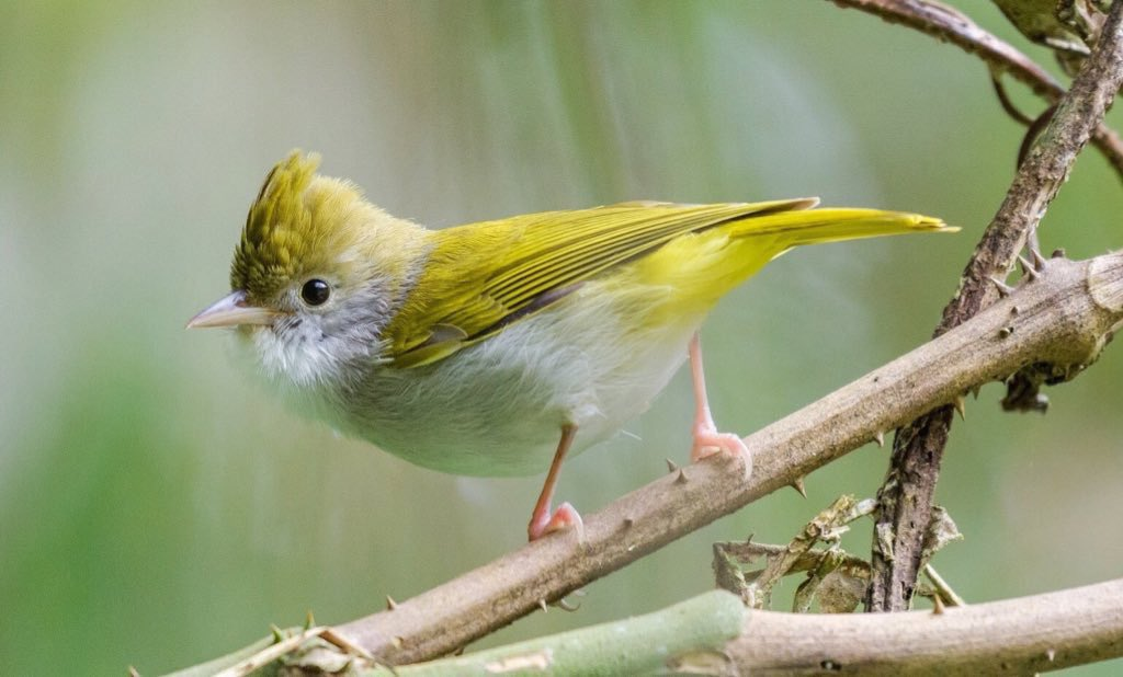 Do you have any nice relatives?  Vireos do: White-bellied Erpornis 綠畫眉. <br>http://pic.twitter.com/vrslUOWoiB