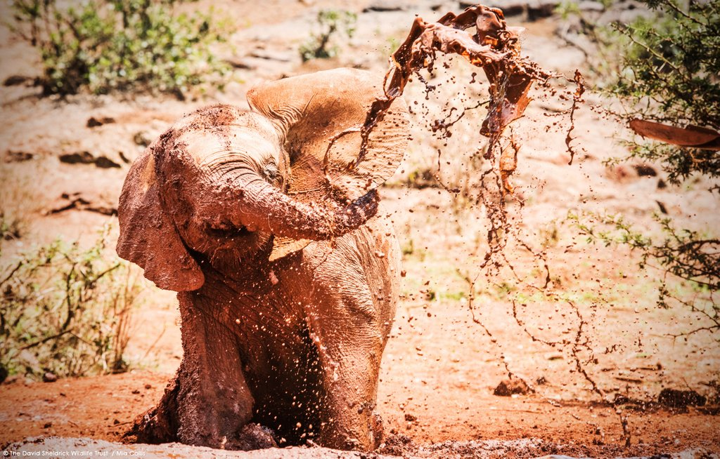 #TransformationTuesday – look at how much mud-loving Ambo has grown in these 'then & now' pics! He's an orphan that was rescued from the Amboseli area of Kenya & is now journeying back to a wild life:  https://www. sheldrickwildlifetrust.org/orphans/ambo    <br>http://pic.twitter.com/HPpFXfRAgC