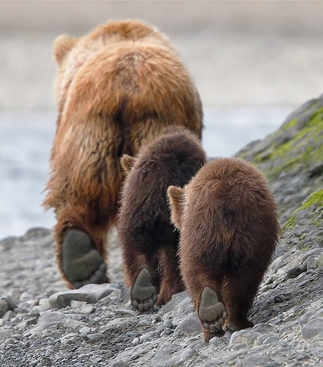 Mother bear and her cubs out for a walk<br>http://pic.twitter.com/fDP81P8WhR