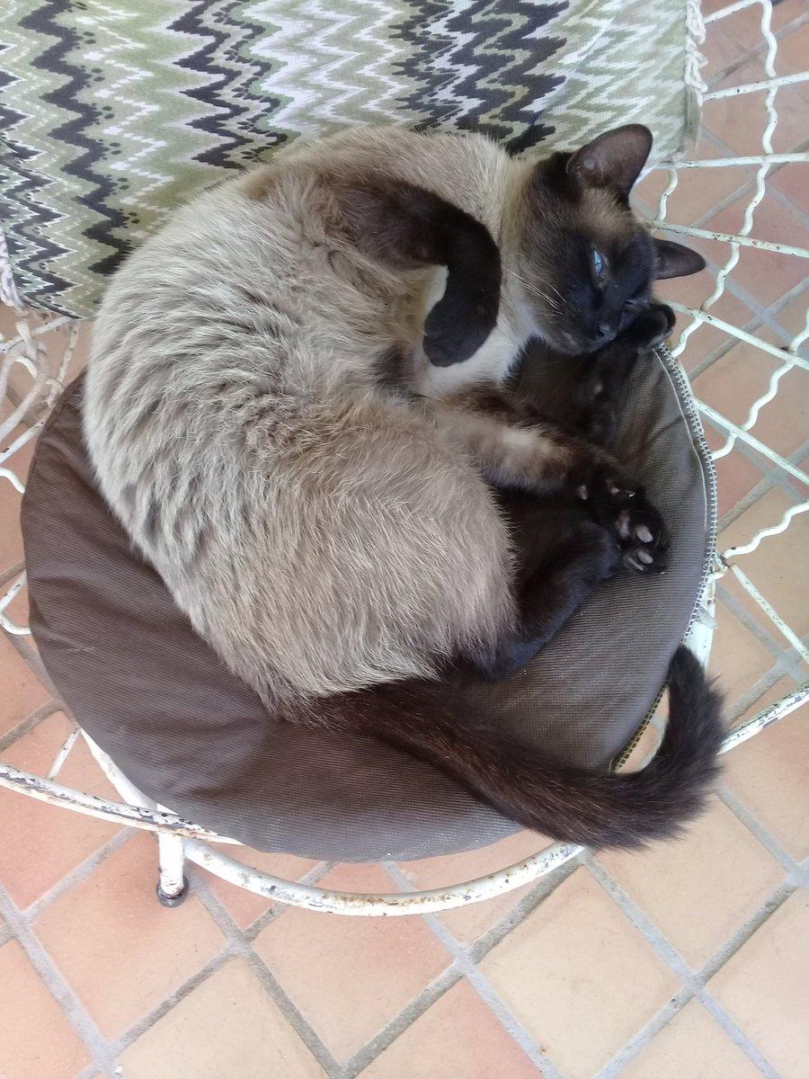 Acho que o #gato está realmente com muita #preguiça...  O que ele tem de beleza, tem na mesma proporção de sono! 📸 #FOTOGRAFIAéNOSSOHobby #cat #relax #pet #dorminhoco