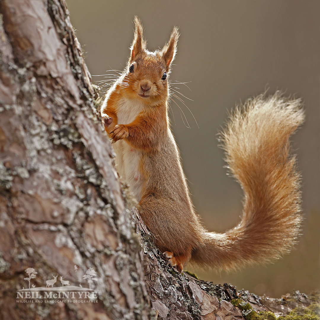 I have not posted anything for a while but see its #RedSquirrelAppreciationDay so thought it was appropriate to do so today 🙂. How could you not like these little guys 😄🐿️ @ScotSquirrels @SelkirkAleReds @TweeddaleReds @Mammal_Society @BBCEarth @Natures_Voice @Rothiemurchus