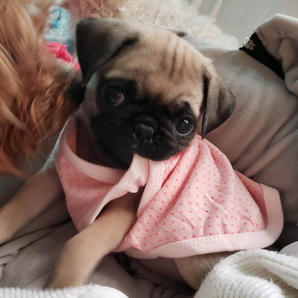 I can't stand the cuteness...she can't stand her shirt lol   #pugs #puglife #puppy #dogs #babydog #pug #CutePuppies #CuteDog #MyPugMeiMei #ilovepugs #puppylove #dogsofinstagram<br>http://pic.twitter.com/h1IjjWQxIp