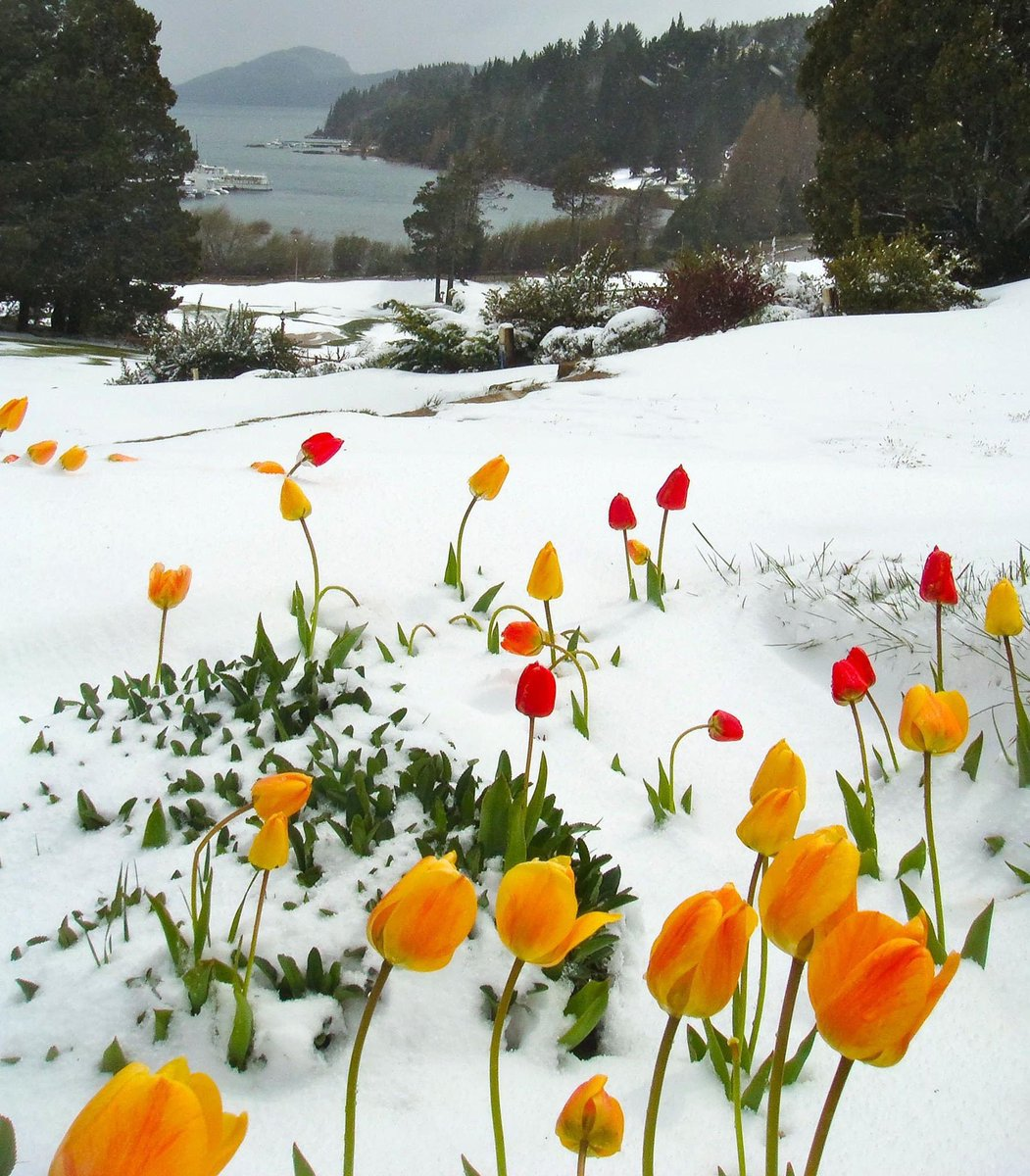also here everyone. Tulips in snow to cheer you up