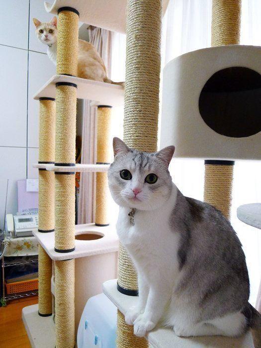 キャットタワーに物申ぉーす!【本日もねこ晴れなり】vol.242|ねこのきもちWEB MAGAZINE https://cat.benesse.ne.jp/lovecat/content/?id=63273…