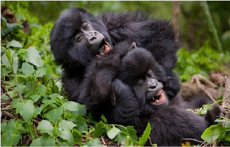 When you realize that your best friend also fail in the exam   #ugandagorillasafaris #ugandagorillatrekking #ugandagorillatrekkingsafari #ugandagorillatracking #ugandagorillatrackingtour #ugandagorillatours #ugandagorillas  #gorillatrekkinguganda #ugandagorillafamilies https://t.co/dlaPlQV9AD