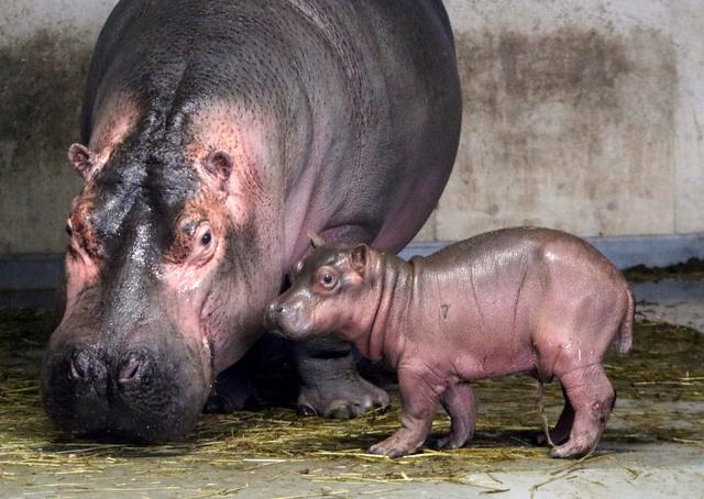 【祝】元気なカバの赤ちゃん、旭山動物園で27年ぶりに誕生水中で出産されて約2時間後、赤ちゃんは地面にあがり、おっぱいを自分で探して母乳を吸ったという。今週末にもモニターで公開予定。