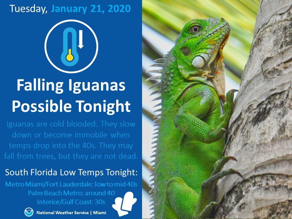 """Serviço de clima de Miami alertando para """"Falling Iguanas"""". Quando esfria elas ficam paralisadas e caem das árvores. Magina, do nada, tomar uma iguanada na cabeça! 👀"""