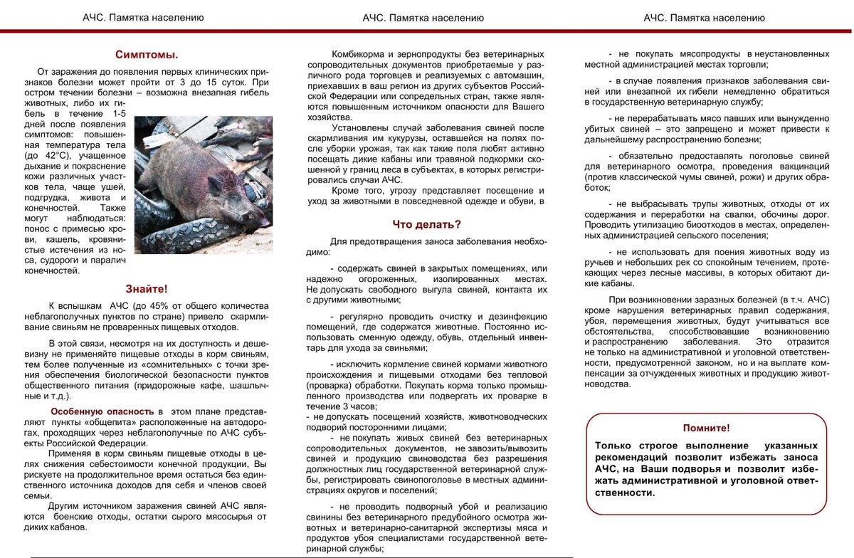Памятка по африканской чуме свиней в картинках