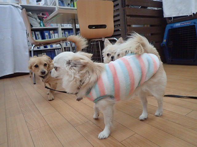 今日は奈々は保育園に行ってます。シャンプーをお願いしておいたのでスッキリして帰ってくるよ #チワワ #犬好きな人と繋がりたい  #犬の保育園 #シャンプーpic.twitter.com/PjxMv80zMK