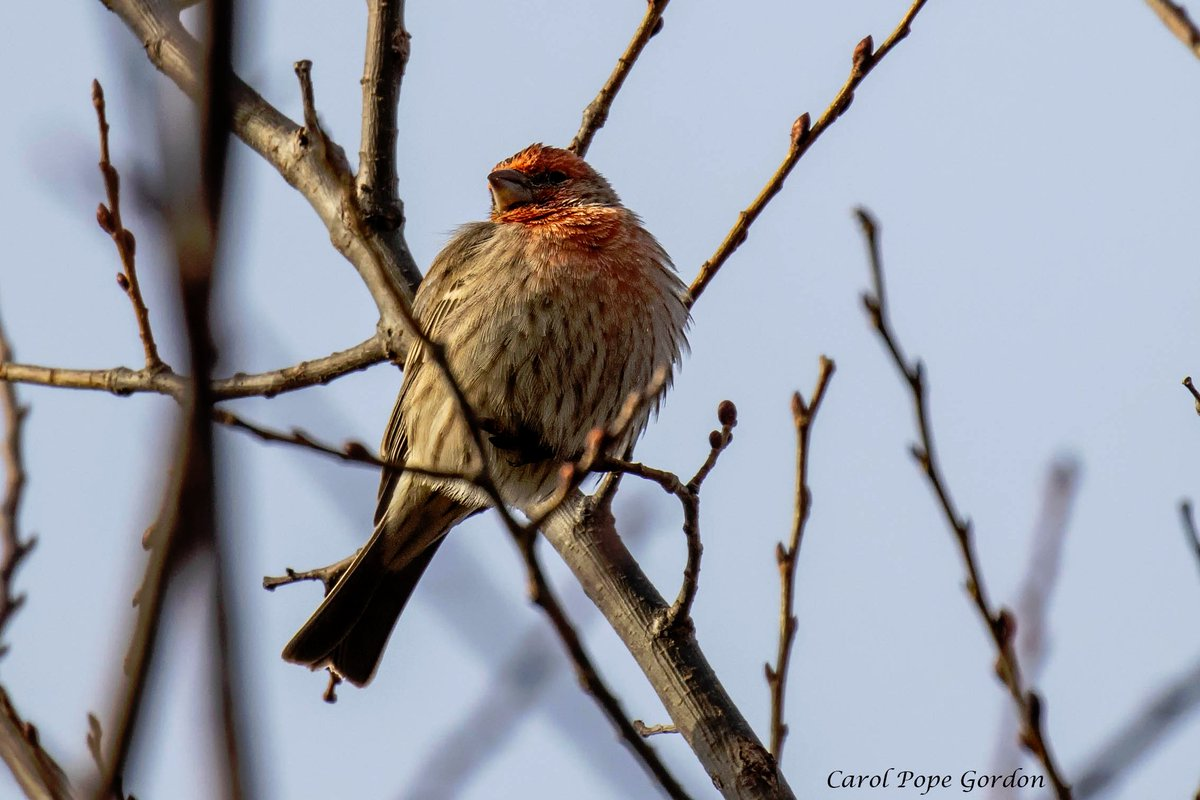 House Finch floof for #WildlifeWednesday <br>http://pic.twitter.com/AgN9OYImLB