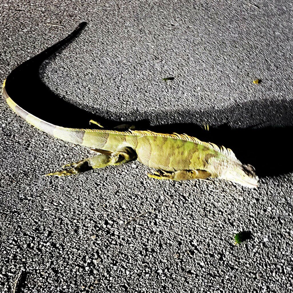 ⚠️WATCH OUT! ⚠️Here's proof of cold stunned iguanas. They can fall from trees. Thank you to our Storm Team 5 meteorologist @SteveWPTV for snapping this picture. FYI It's not dead. @WPTV #FloridaWinter #amcrew
