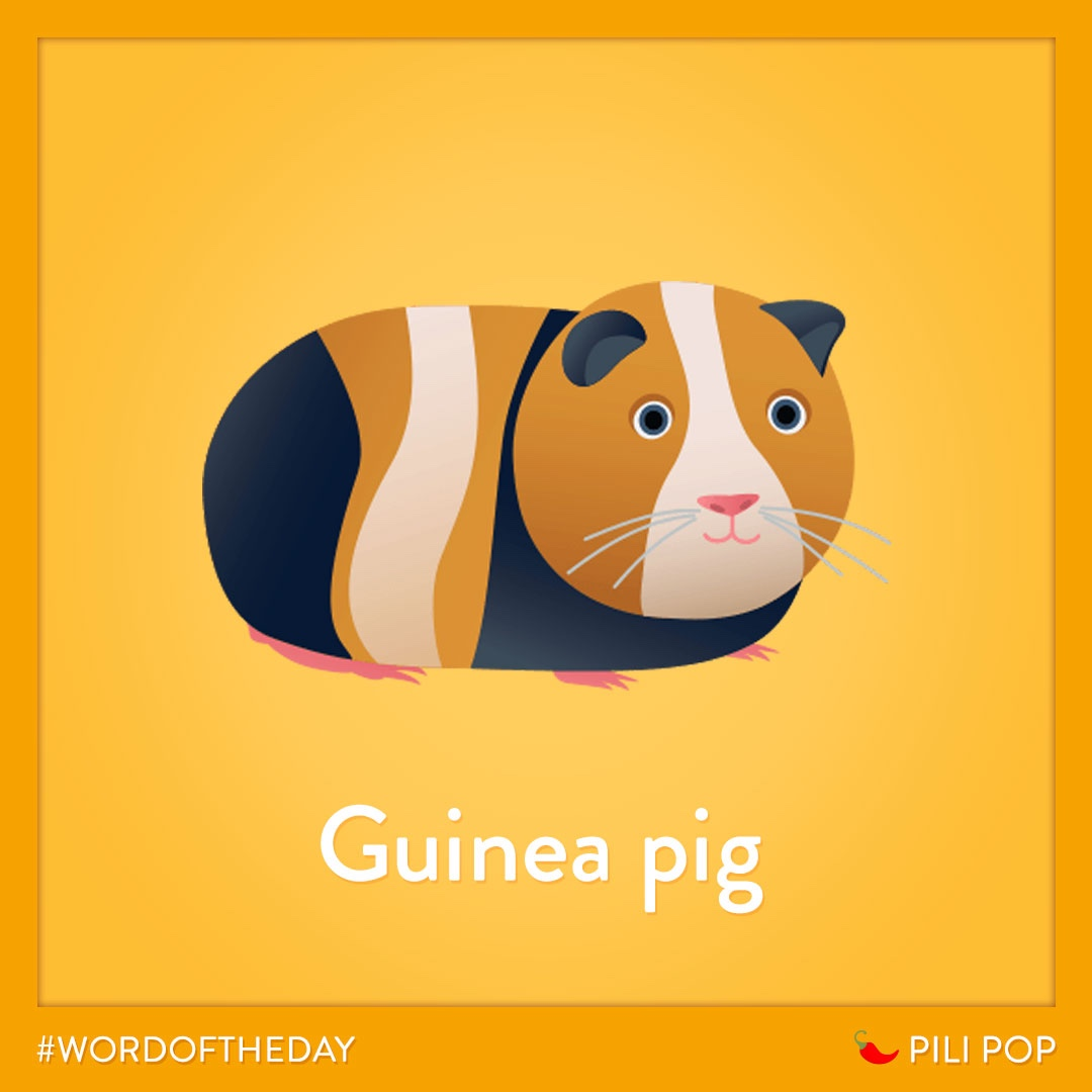 """#WordOfTheWeek 🌶️ In French, we say """"cochon d'Inde"""" 🐹 https://t.co/HKrb3M5YTh"""