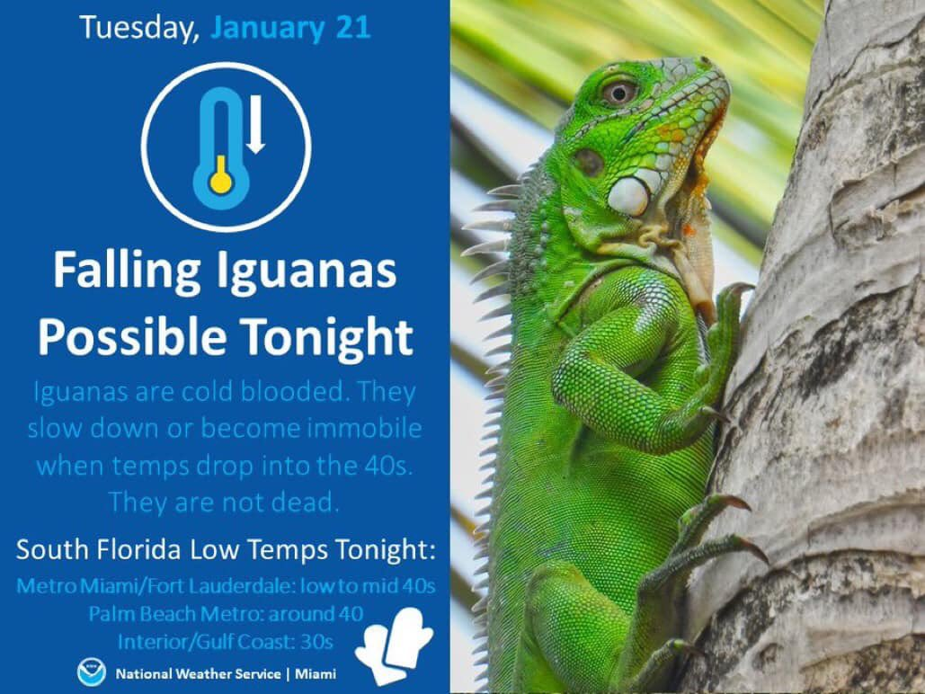 Florida Winter ❄️ Lizards Warning  #Floridaweather #FloridaLiving #tropiclikeitshot #tropicaltalker