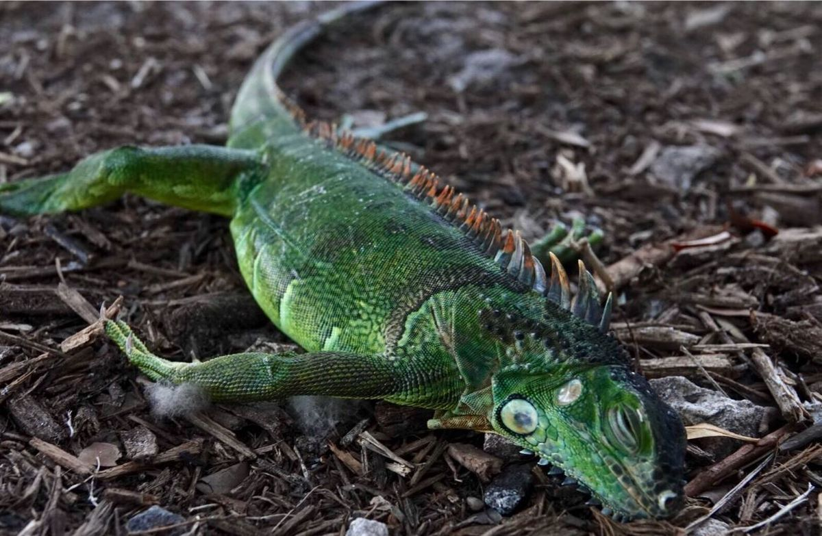 Cold-stunned iguanas falling from Florida trees...