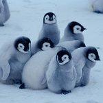 驚きの動物の習性!ペンギンのおしくらまんじゅう!?ペンギンは寒さに耐えるためにおしくらまんじゅうをする!