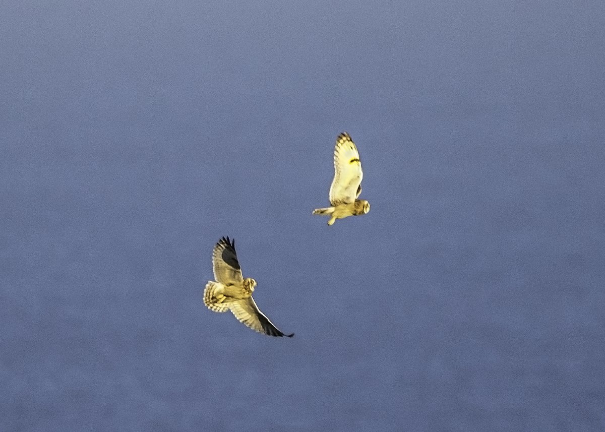 @Bempton_Cliffs  Some more images of short-eared owls at RSPB Bempton 20th Jan <br>http://pic.twitter.com/lx6OYFFewQ