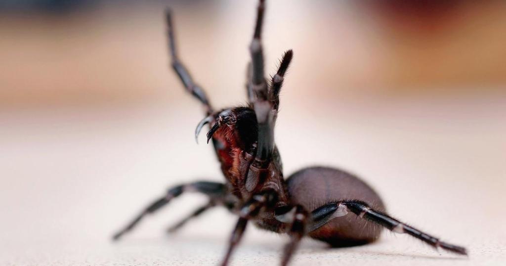 "Australians warned of possible deadly spider ""bonanza"""
