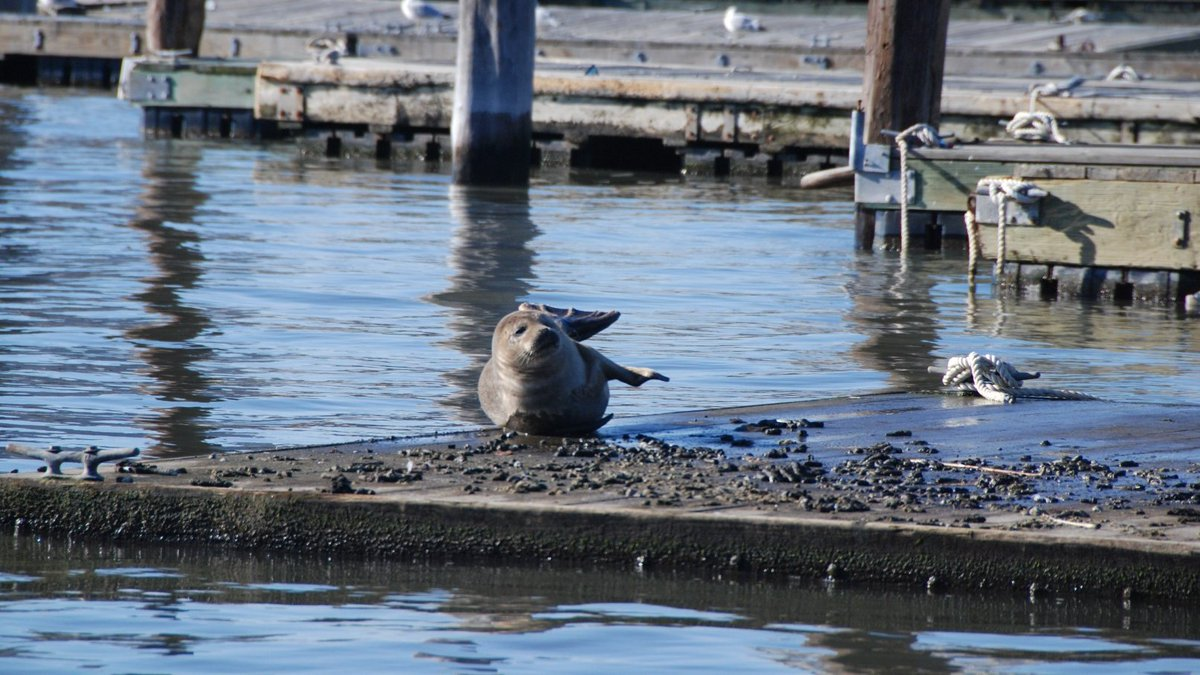 It's cold out but it's sunbathing weather for seals! You might spot one hanging out on our shores or piers. Seals travel south to our warmer waterways during winter for easier fishing. Please admire them from a distance; seals―like most NYers―appreciate space. #WildlifeWednesday <br>http://pic.twitter.com/YDP7G2uUH9