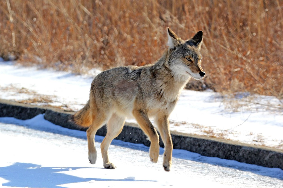 Happy #WildlifeWednesday! Here are some beautiful shots of a coyote at Lake Renwick Preserve to brighten your day. (Photos courtesy of Tim Adams) <br>http://pic.twitter.com/SPqkwMvbzG