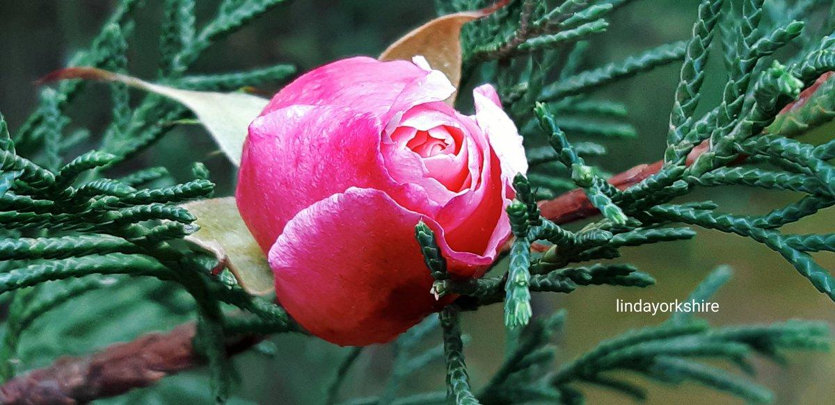 roses hashtag on Twitter