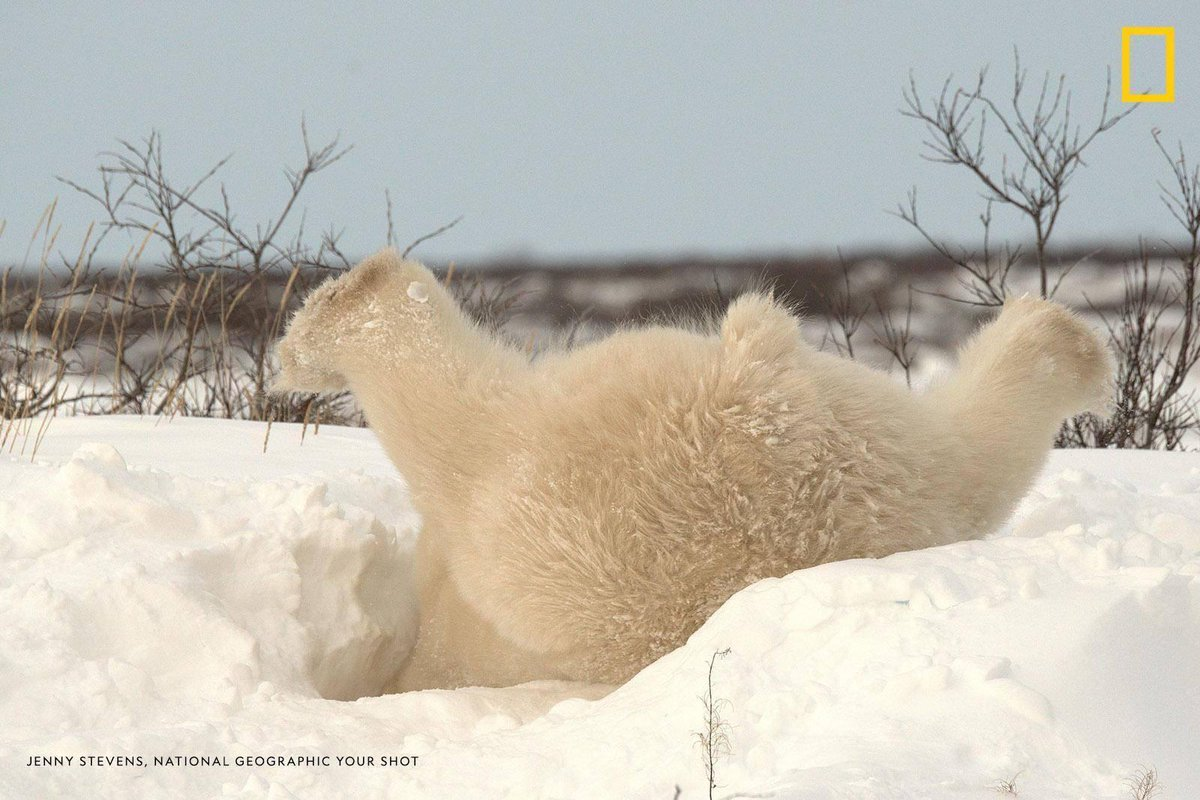 """The first snow of the season excited this male polar bear,"" writes Your Shot photographer Jenny Stevens. ""He played in the snow for over an hour.""<br>http://pic.twitter.com/xt2i5kFusp"