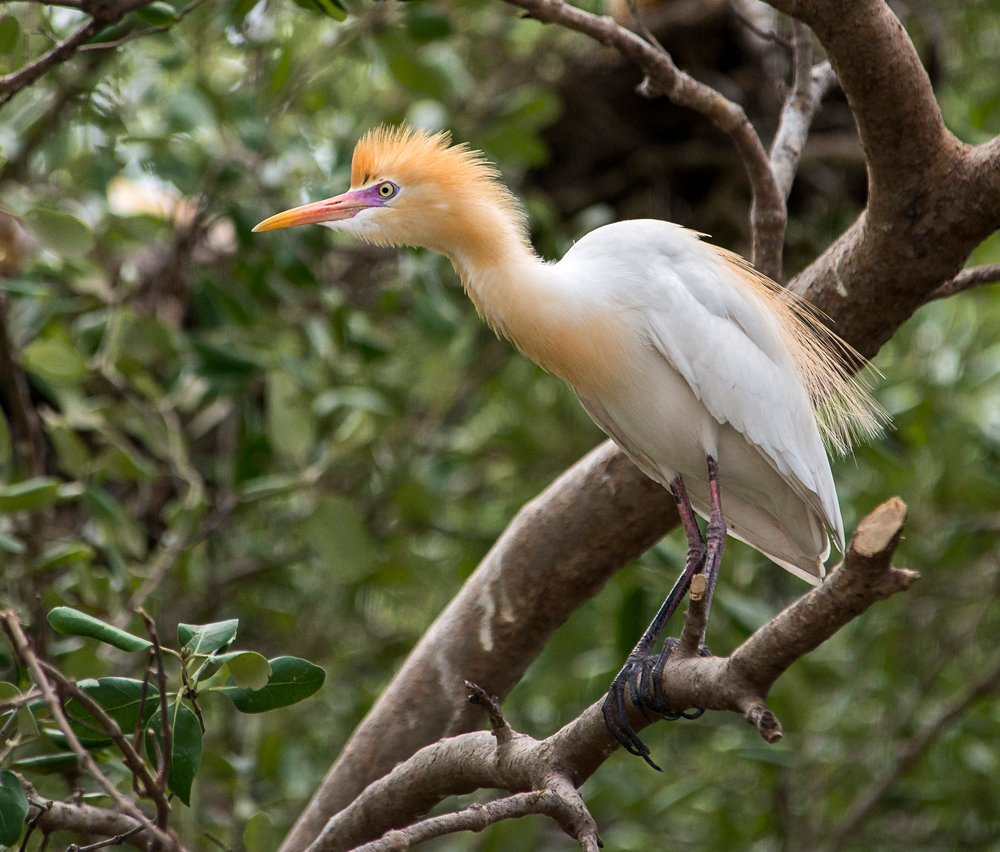 Hello Twitter friends, a Cattle Egret with a great hairstyle and purposful look perched in a tree in Chomburi Province, Thailand. <br>http://pic.twitter.com/KSk7jQb31K
