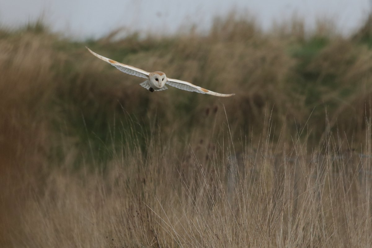 Another great day at #RSPBFramptonSome brilliant spots for the 'Raptor Rapture' event  Late additions to the board include cetti's warbler along the hedgerow path, 5 merlin over the saltmarsh and 2 barn owls at dusk!  Barn Owl Neil Smith Sunset Chris Andrews<br>http://pic.twitter.com/CMZyEgOCl9