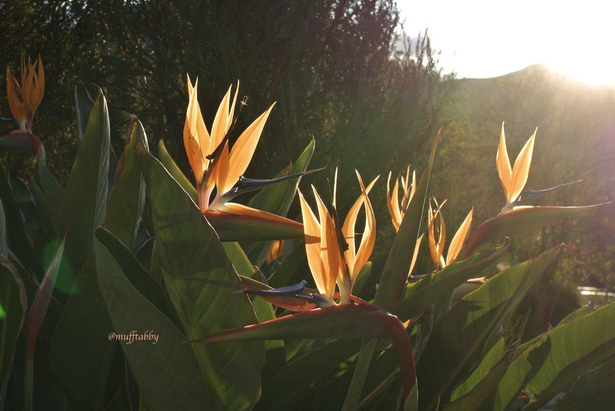 こんにちは。 今日もよい1日となりますよう。  昨日の夕暮れどきの #ストレリチア #BirdOfParadise #極楽鳥花