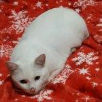 Image for the Tweet beginning: Porque #Whitexican #WhiteCat #InstaCat #Cat