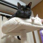 Image for the Tweet beginning: 本日13時~『マダムひな子』です🔮 23木24金→ご予約のみ  🌸25土→通常在室 🌸26日→通常在室   恒継先生も在室 🌸27月→通常在室 🌸28火→フリマ豊国神社⛩️  ご予約は 待ち時間のご心配ありません  時間確認など お問合→09019122290📲 お気軽に  #黒猫 #blackcat #白猫 #whitecat 今日の仲良し💕