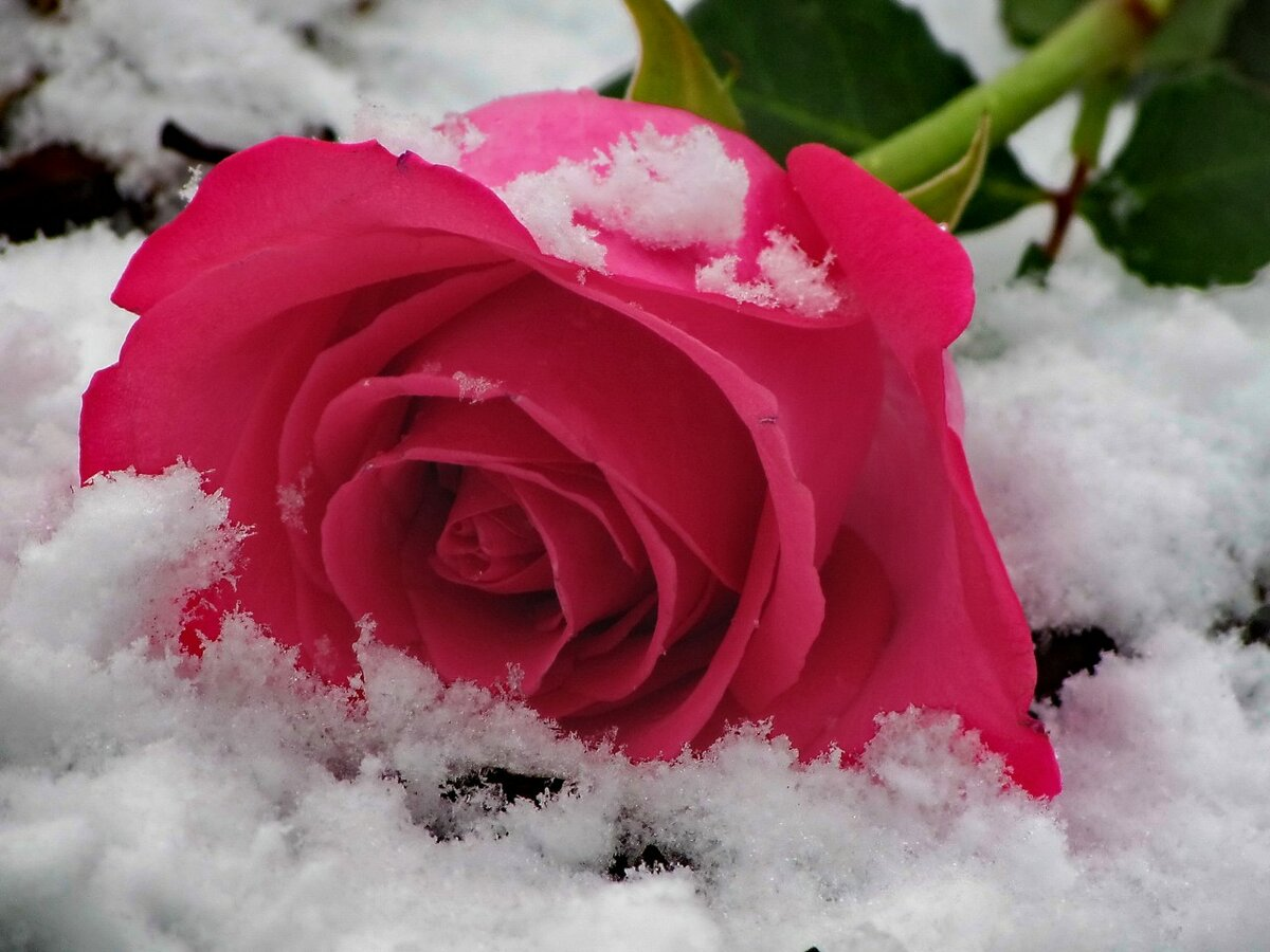недавнего розы фото в снегу содержании, разведении уходе