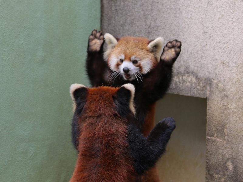 【レッサーパンダの威嚇】レッサーパンダは相手を警戒して威嚇する際に少しでも体を大きく見せるために手を広げたポーズを取ります。ただし、可愛すぎて威嚇と気づかれない事が多い。