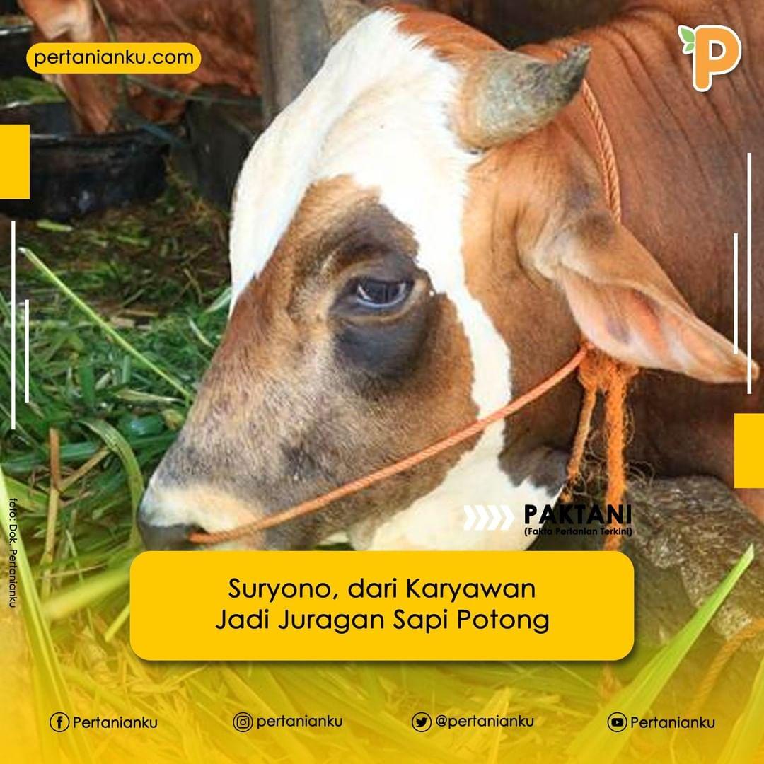 Setelah mengalami pasang surut dalam berbisnis, Suryono mencoba kembali mencoba peruntungan hidupnya dalam penggemukan sapi potong.  . Sumber:  @Pertanianku  #sapi #sapipotong #peternakan #pertanian #hewanternak #usahatani