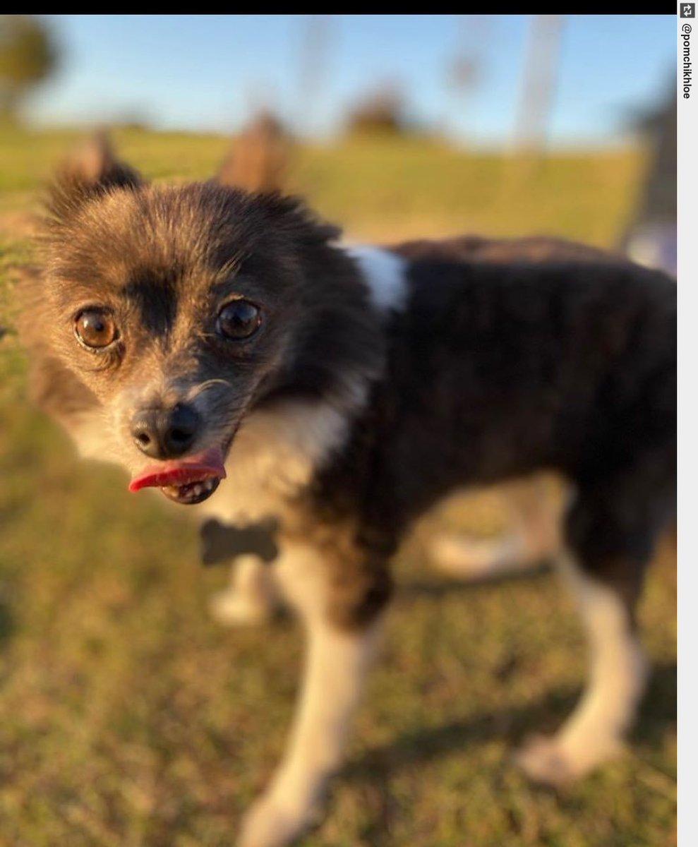 Live. Love. Bark. . . . . . . #pompom #pomeraniansofinsta #pomeranian #puppy #puppylove #dogsofinstagrampic.twitter.com/qhUZYQ0Aoj