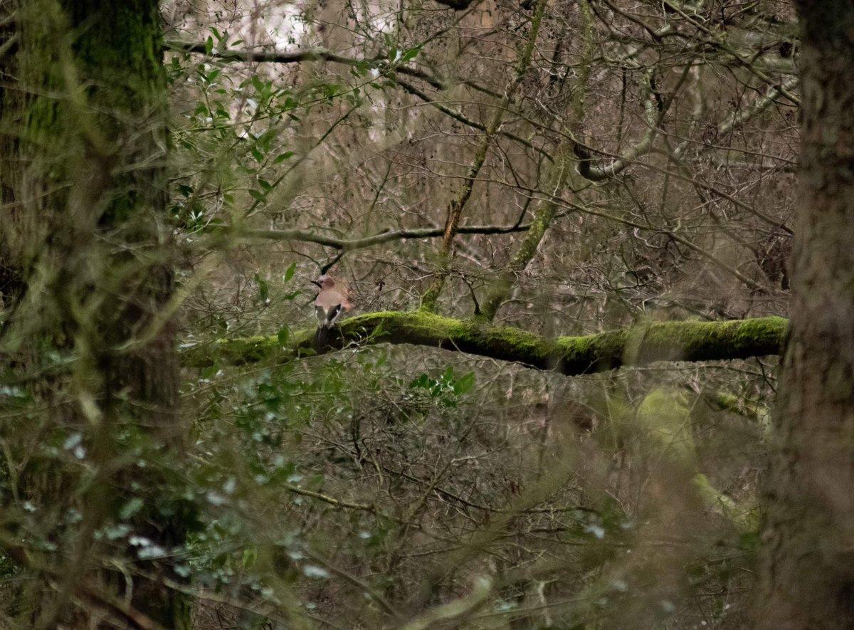 Anyone else find #jays as elusive as I do?  #birding #birdwatching #birdwatchingphotography #naturephotographypic.twitter.com/bpnZgHESpj