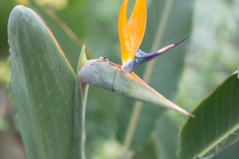 心を美しくすれば いろんな事が 自然と整います  (天大)  #極楽鳥花 #ストレリチア
