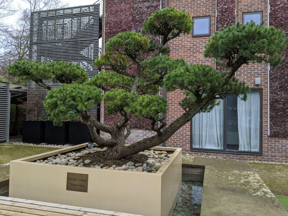 Ed Wilson On Twitter I M Not An Expert On Bonsai But What Are The Chances Of Europe S Oldest Bonsai Tree Being In The Windy Courtyard Of A West London Chain Hotel Slim