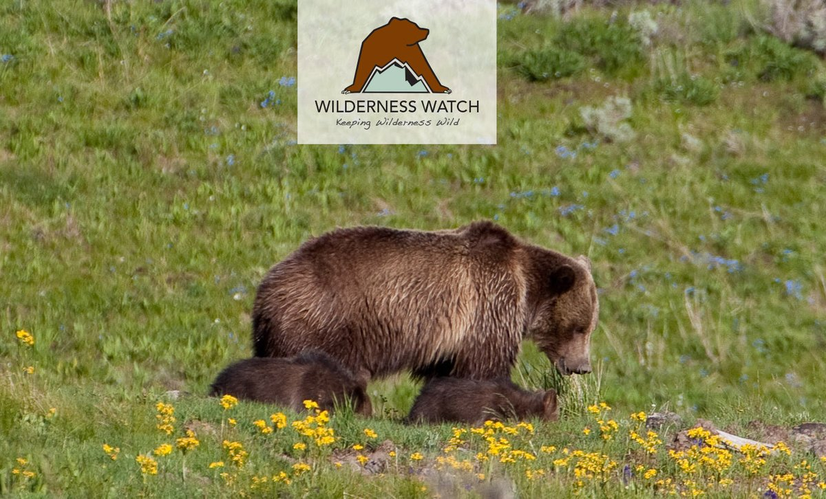 Idaho and Wyoming are the only states that allow bear baiting within the range of #grizzlybears, and Idaho continues to allow bear baiting even in #Wilderness. Support our lawsuit to protect grizzly bears and end bear baiting in Wilderness: https://wildernesswatch.salsalabs.org/bearbaiting #KeepItWild pic.twitter.com/HfI7oB00tB