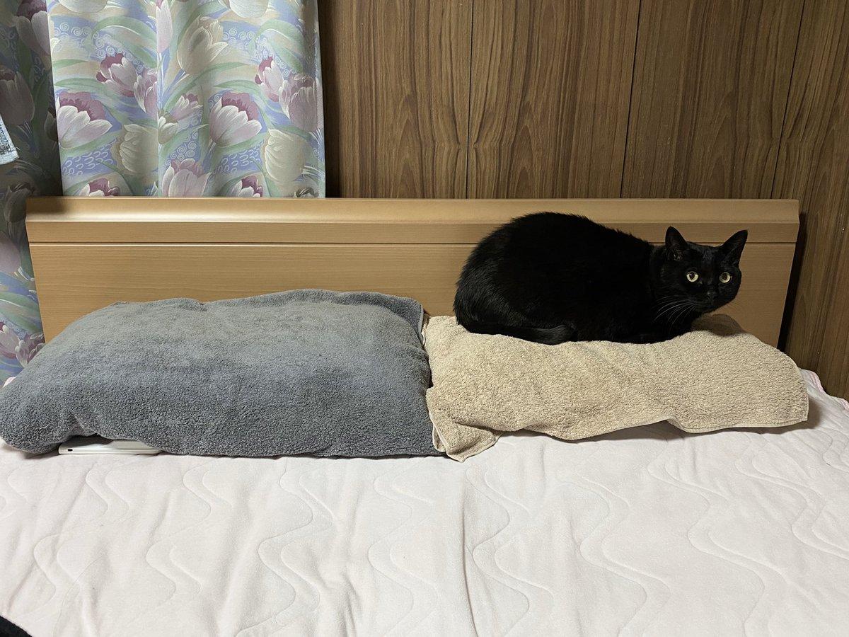 昨夜の新品枕強奪事件は「もしかしたらねこは壁側に寝るのが嫌だっただけなのかもしれない」と思って、カバーはそのままで枕の中身だけ左右入れ替えてみたら、やっぱり普通に新品の方に乗られた図キョトンとした顔をすな