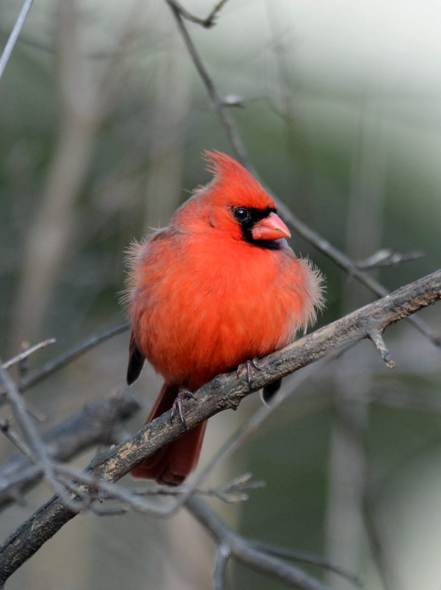I think this image speaks for itself. #FridayFloof #northerncardinal #becurious<br>http://pic.twitter.com/oc1guEQR5R