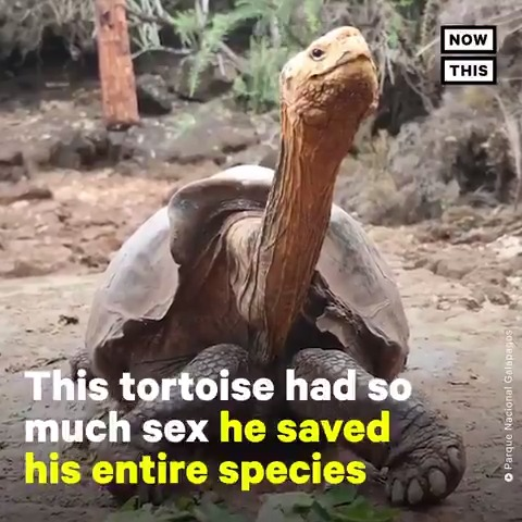 This horny tortoise singlehandedly saved his species by having all of the sex 🐢