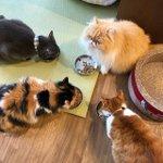 Image for the Tweet beginning: lunch time🍗 #nekocafetime  #catcafe  #fushimiinari