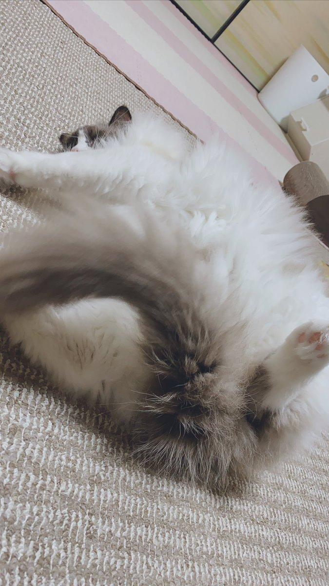 ゴローーンゴローンしてて、しっぽを見つけてベロンべローンして、最後は毛玉ꉂꉂ ( ˆᴗˆ  )💓#ラグドール #猫 #毛玉 #かわいい #猫のいる生活 #猫好きさんと繋がりたい #猫のいる暮らし #猫好き #cat #猫写真 #四コマ