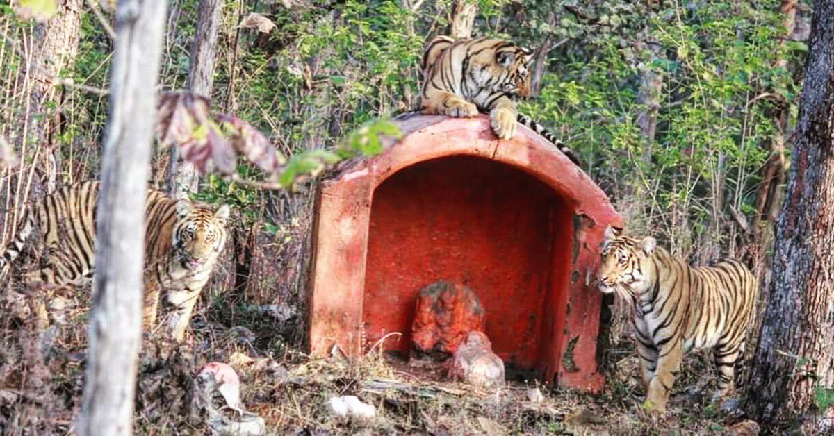 Look who is guarding this temple at remote corner of a wildlife sanctuary. Pushkaraj Mulay shot this in Western India. Temple tigers !!