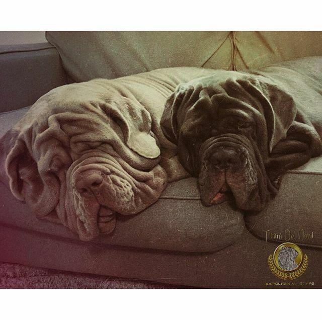 Snuggles on the couch . . . . . #neapolitanmastiff #mastinonapoletano #italianmastiff  #neosofinstagram #instadog #neapolitanmastiffsworldwide #neapolitanmastifflovers #neapolitanmastiffs #dogslife #puppylove #mastiffgram #bigdogs #dog #dogs #mastiff #ma… https://ift.tt/2FQvILopic.twitter.com/mmuifE6HH9