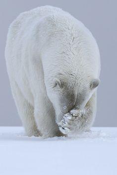 【ホッキョクグマは鼻を隠す】ホッキョクグマは一面真っ白な北極では真っ黒な鼻が目立ってしまうので『隠しとかなきゃ!』と両手で鼻を隠します。これは狩りの最中によく見られる行動だそうです。