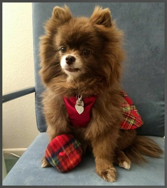 Every day is National Dress Up Your Pet Day  for me  & I wouldn't have it any other way as I  wearing clothes. . . . #dolcevitapomeranian #pomstagram #chocolatepom  #chocolatepomeranian #dogmodel #chocolatedog #pomsofinstagram #pomeraniansofinsta… https://ift.tt/30ipL3tpic.twitter.com/MiH9YXu3f9