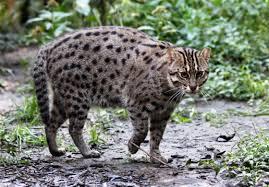 「ぼのぼの」で知られるようになったスナドリネコ砂取り猫じゃなくて漁り猫なのでした泳いで魚や貝を獲るんだよだから前足に「水かき」まで付いてます一緒に泳いだりお風呂に入ってくれそうでイイネ(*´ω`*)