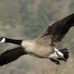 Goose Suddenly Realizes It Doesn't Have To Honk Like An Idiot Entire Time It's Flapping Wings https://t.co/HsZgSetIRC